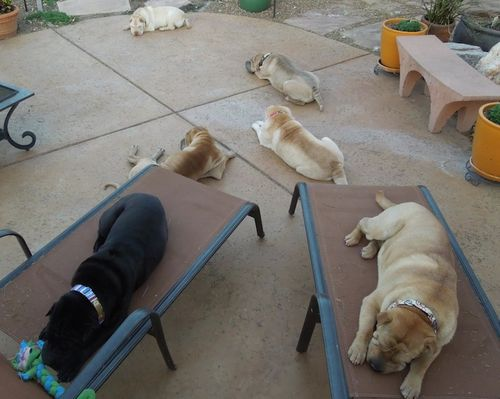 Too-many-sharpei-small