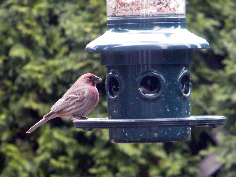 Housefinch-backyard
